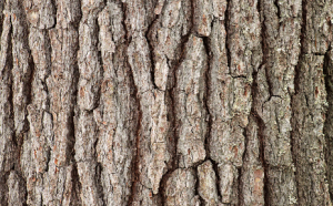22-white-pine-bark.png