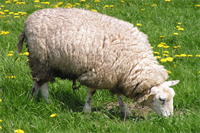 cow-and-sheep-1397891-1600x1200.png