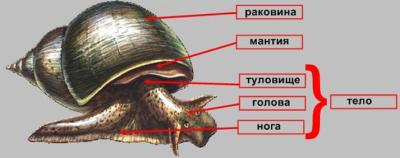Доклад по биологии на тему моллюски брюхоногие 6933