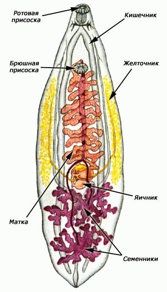 Плоские черви вид сосальщики