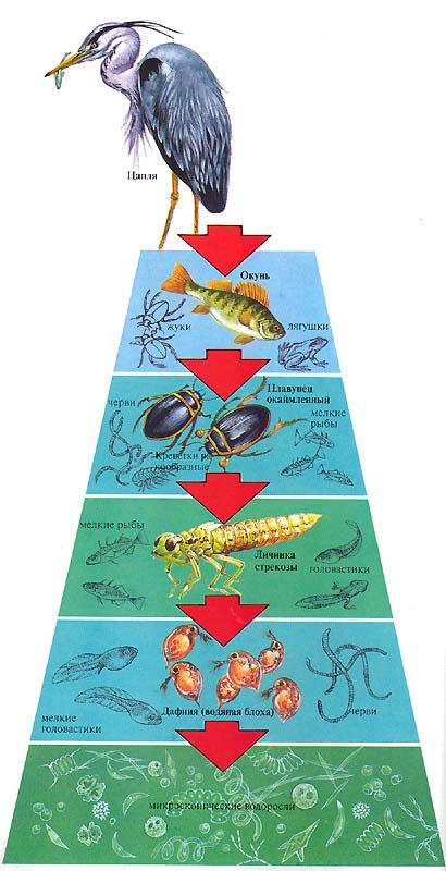 Экологические пирамиды работа с пирамидой моделью веб модели слив вк
