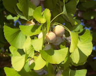 ginkgobiloba with fruit.png