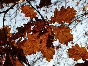 oak-leaves-10846_960_720.jpg