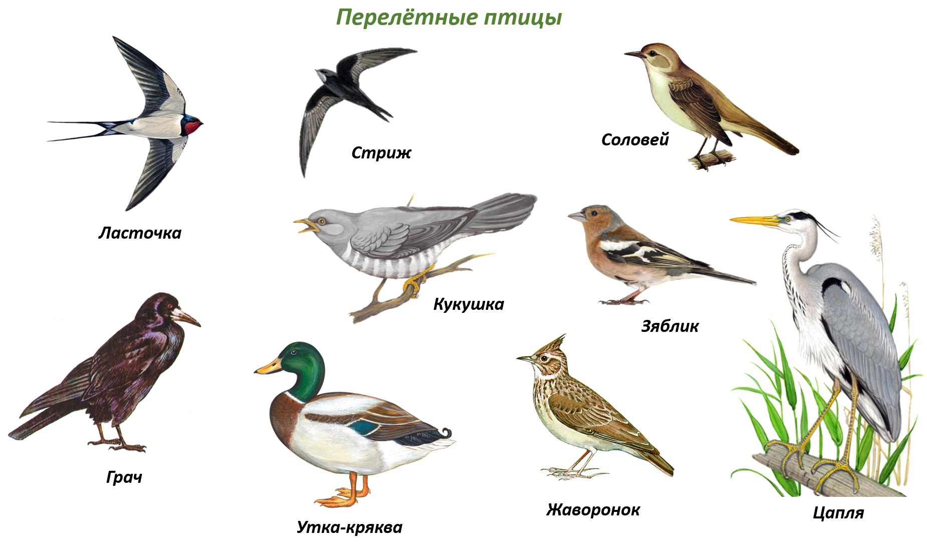 фотография птицы беларуси картинки и названия эти