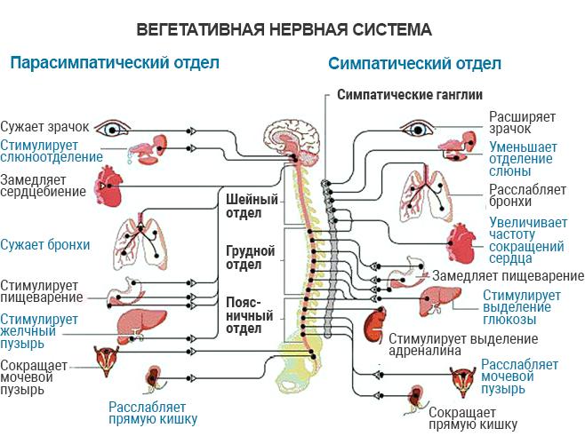 Реферат симпатическая нервная система 2291