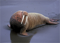 walrus-518220_1280.png