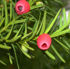 Taxus315.png