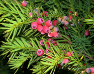 Taxus-baccata2.png