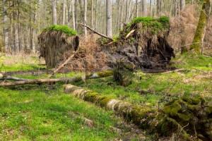 24692660-springtime-alder-bog-forest-with-standing-water-and-stor-broken-spruce-tree.png