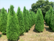 Thuja-occidentalis-Columna.png