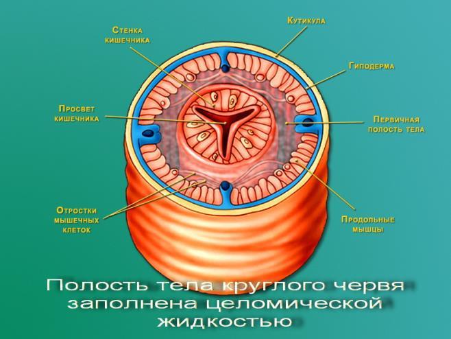 паразиты кишечника под микроскопом