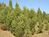 juniperuscommunisherb1.png