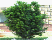 Taxus_baccata2.png