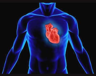 Строение сердца — урок. Биология, Человек (8 класс).